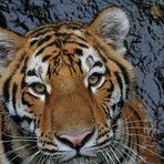Tiger zu nah ...... Aug in Aug (leider nicht komplett erwischt)