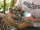 Tigerbaby hat Hunger!!