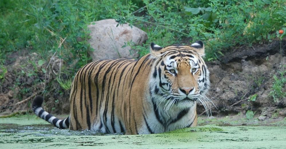 Tigerbad by (P)icsoft Detlef