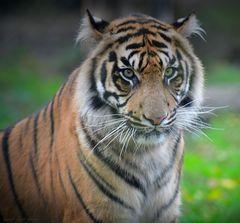 Tigerbeauty