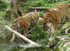 Tigerbeschäftigung