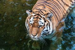 Tigerblick (2)