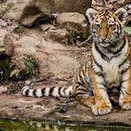 Tigerchen und bald Tiger