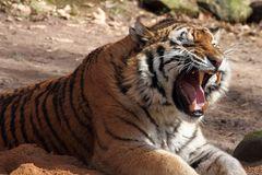 Tigergebrüll