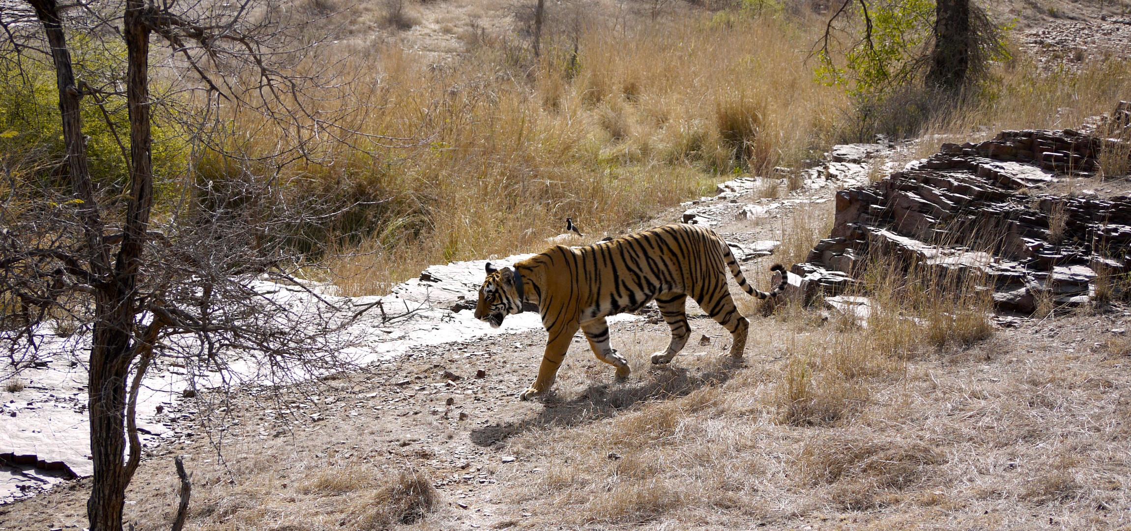 Tigerin im NP Ranthambore Indien