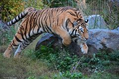 Tigerin in action