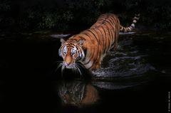 Tigerin KATINKA geht im Mondlicht schwimmen