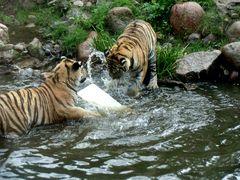 Tigerjungs