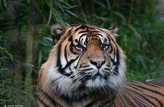 Tigerkater Argo