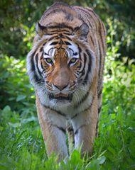 Tigerkater El-Roi