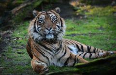 Tigerkater in Rheine
