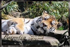 Tigerkater Rasputin R.I.P.