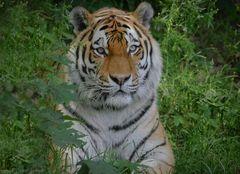 Tigerkater Taimyr