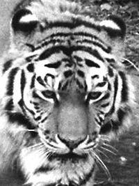 Tigerkatzitatzi