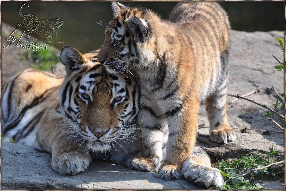 Tigerkind mit Ecke-ab-am-Ohr
