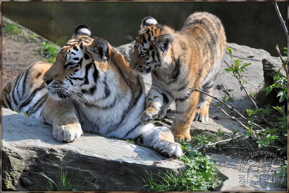 Tigerkind mit Mama Hanya