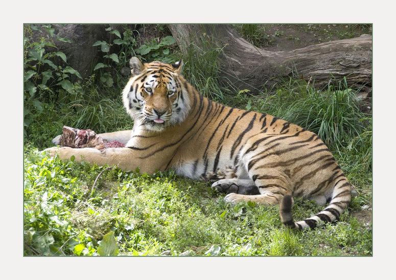 Tigermahlzeit I
