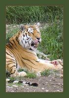 Tigermahlzeit III