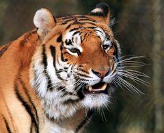 Tigermama
