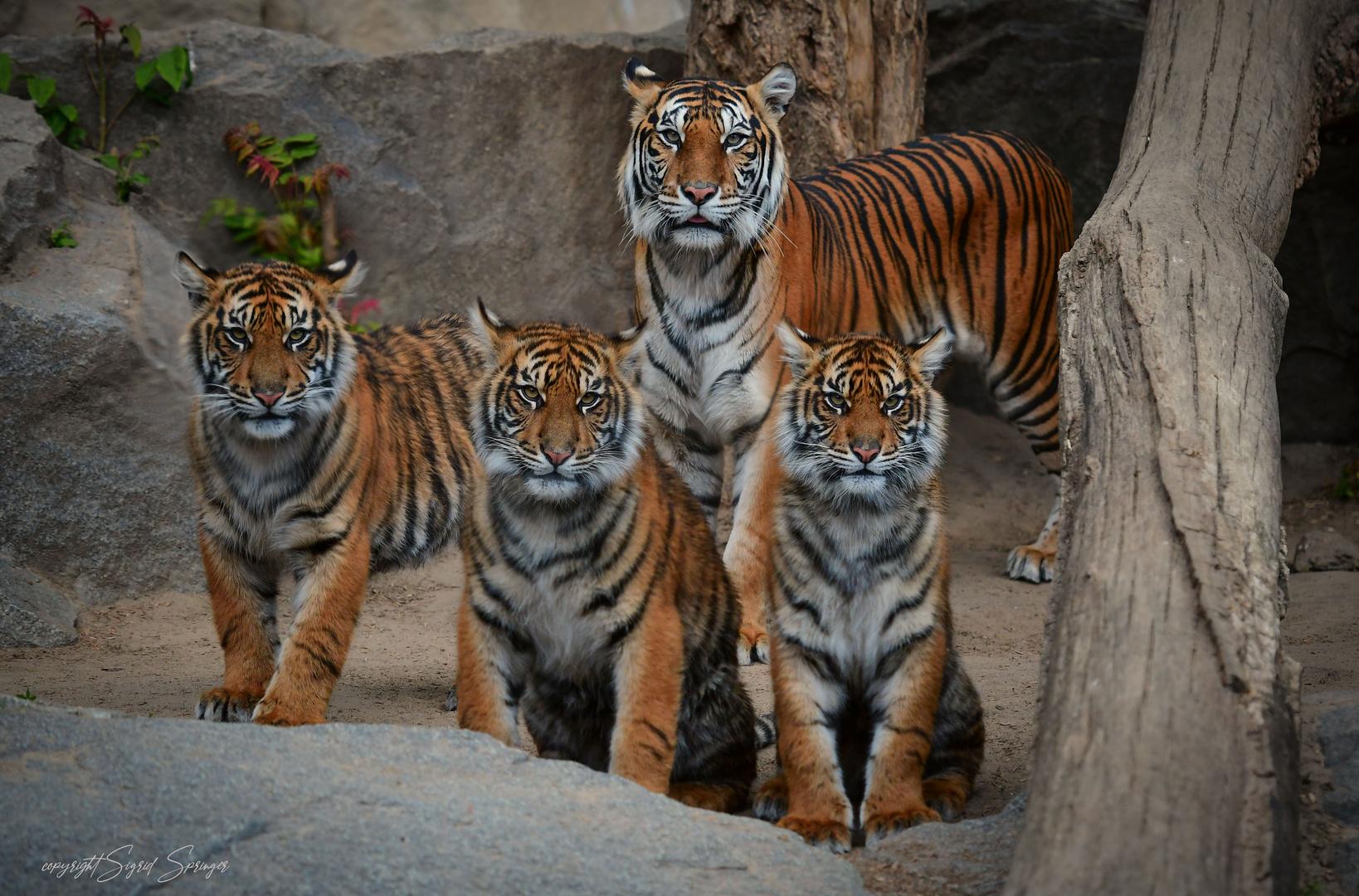 Tigermama Mayang mit drei von Ihren Youngsters