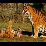 Tigermama mit verspielten Jungen