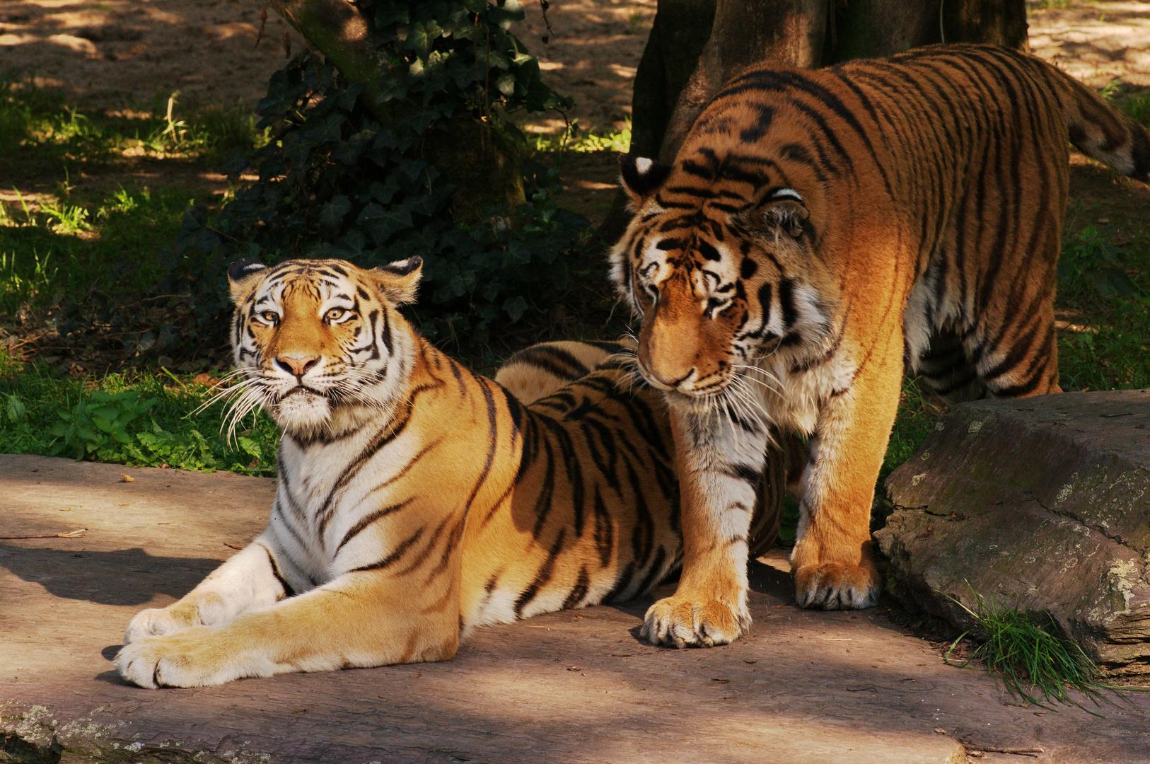 Tigerpärchen aus Köln