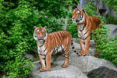 Tigerpärchen