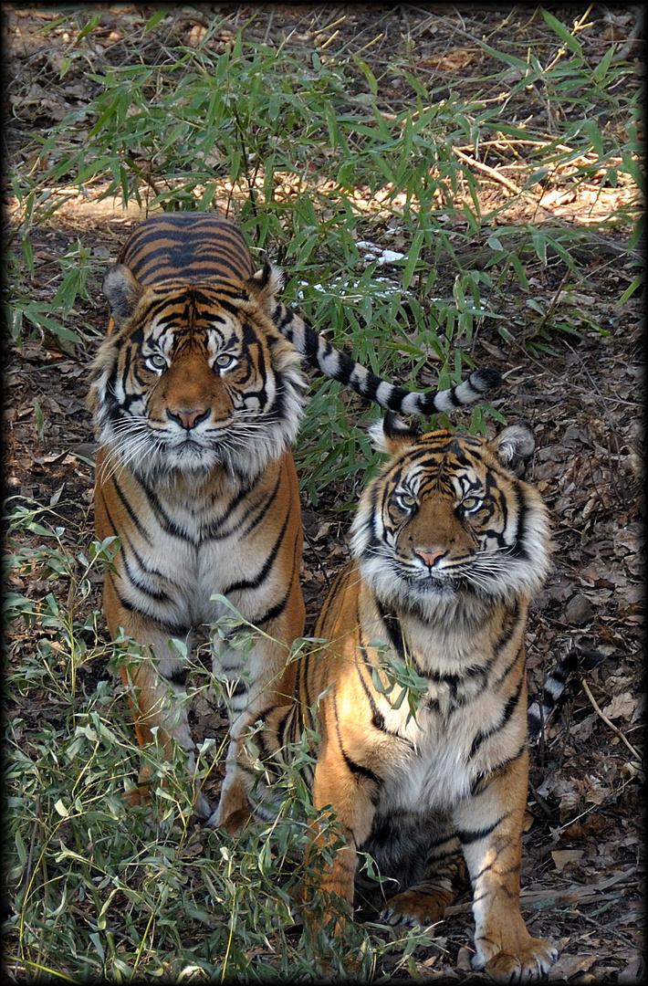 Tigerpärchen...