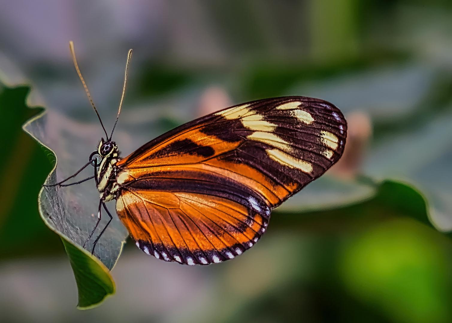 Tigerpassionsblumenfalter ...