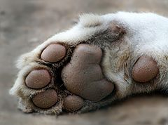 Tigerpfötchen