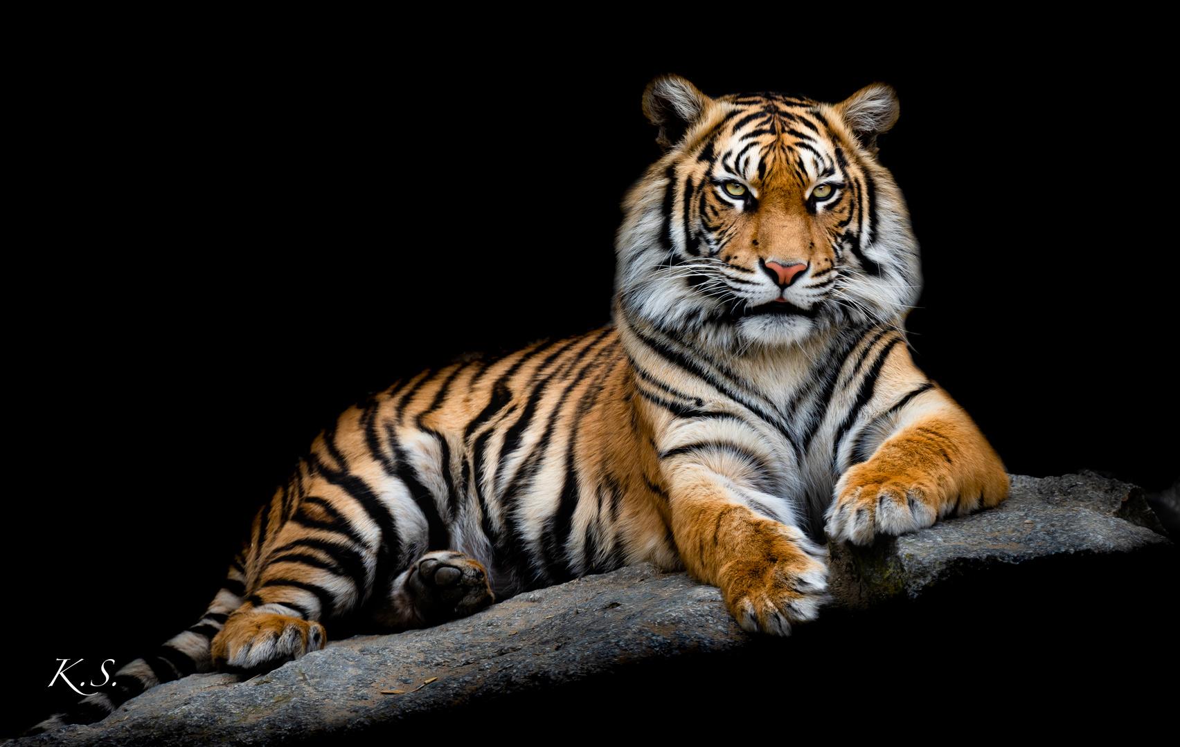 Tigerporträt