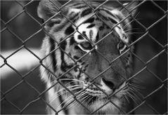 Tigerporträt zum schwarzweißen Freitag