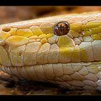 Tigerpython in albinotischer Form -Python molurus bivittatus-
