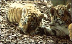 ... Tigerrauschen ...