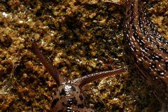 Tigerschnegel (Limax maximus)