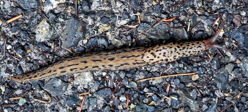 Tigerschnegel (Limax maximus). - Limace léopard (Limax maximus).