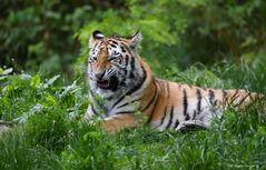 Tigersprache