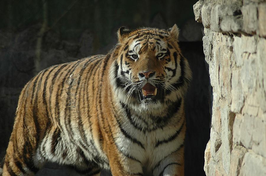 Tigertag No. 2