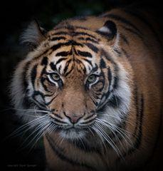 Tigerweibchen Tipah