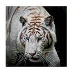 Tigre blanc 2.