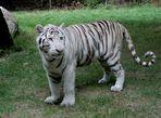 Tigre du Bengale ou Tigre Blanc
