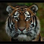 Tigre 'El-Roy'
