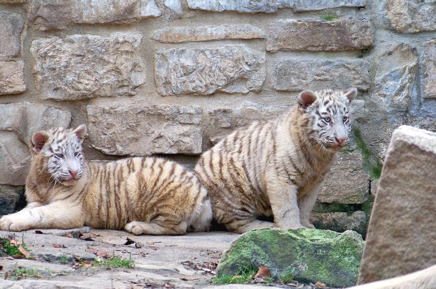 tigres jovenes