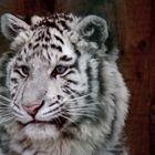 tigresa blanca