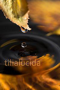 tilia lucida