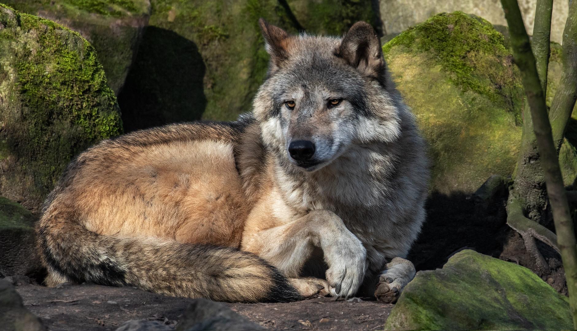 Timberwolf 001