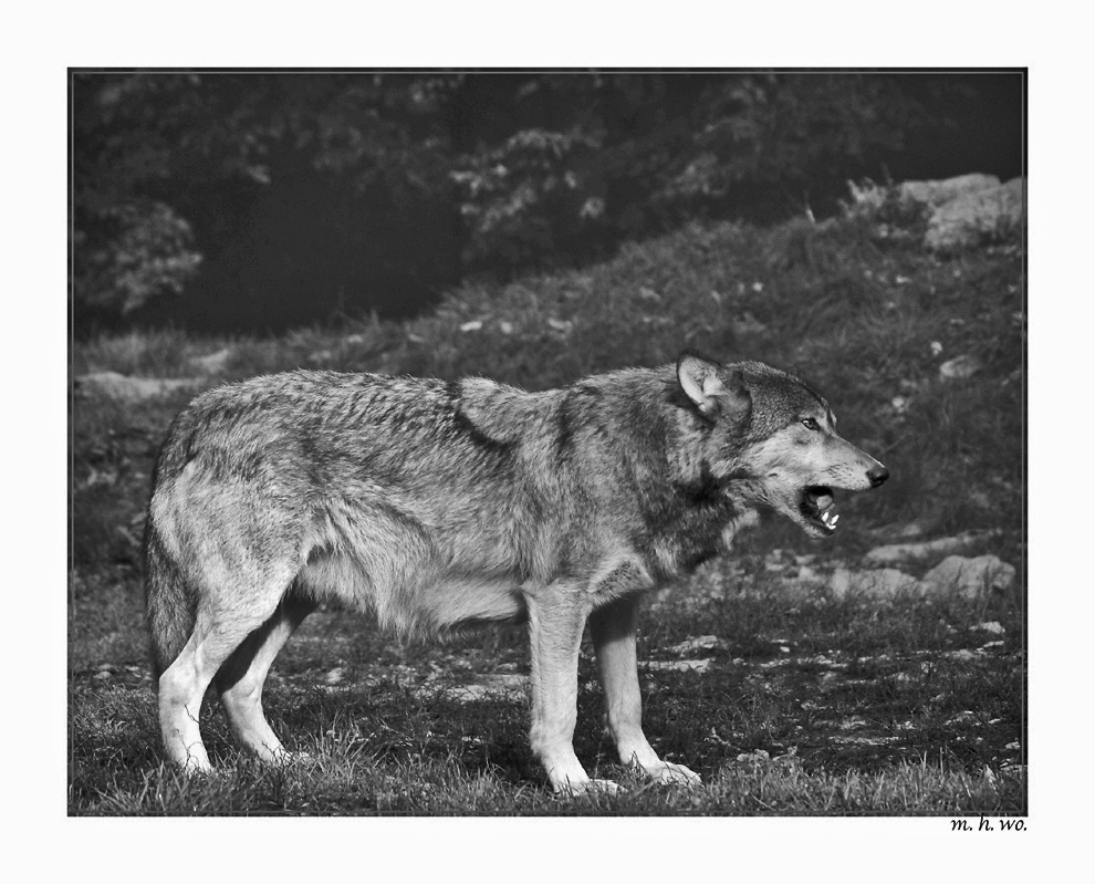 Timberwolf..........
