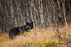 Timberwolf ...
