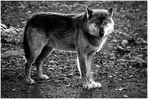~ Timberwolf ~