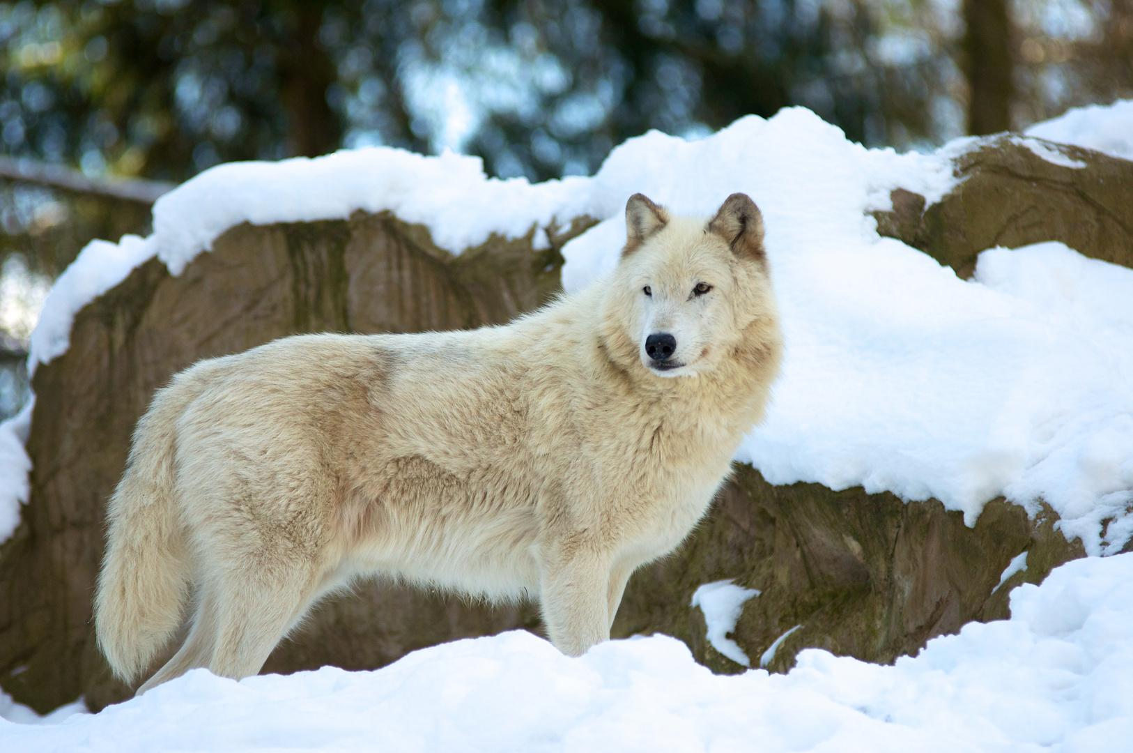 Timberwolf im Schnee